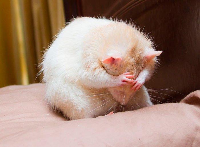 ratas-domesticas-12