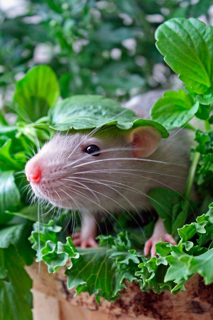 ratas-domesticas-13