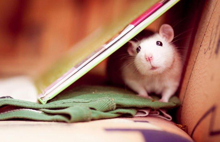 ratas-domesticas-14