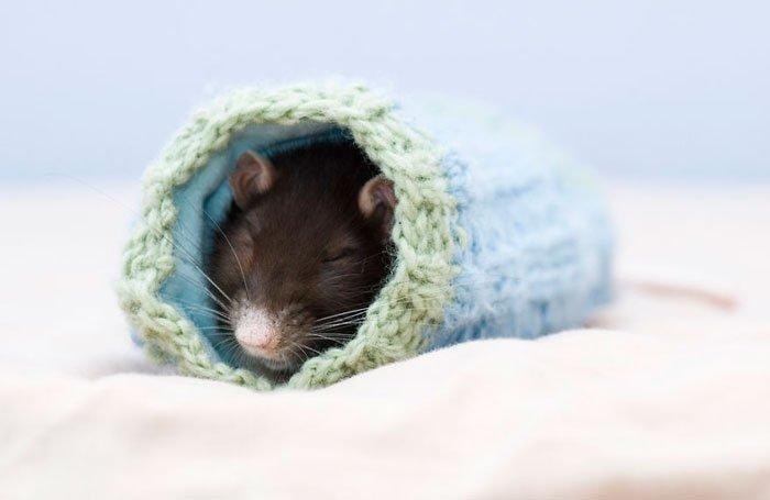ratas-domesticas-16