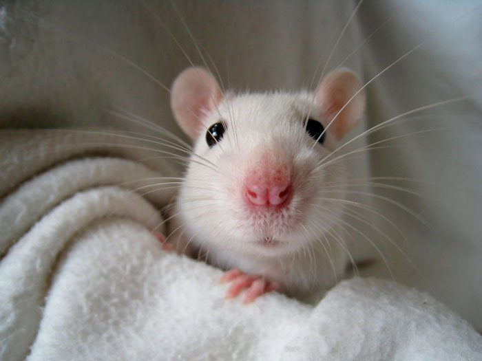 ratas-domesticas-17