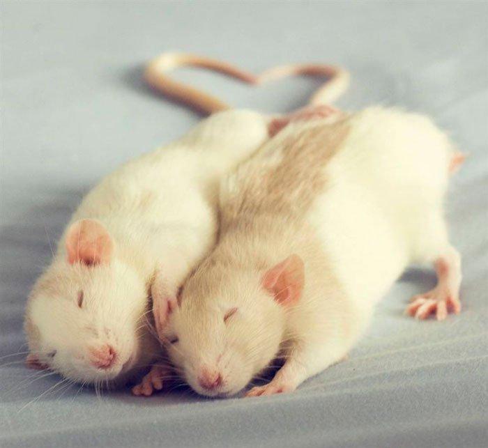 ratas-domesticas-18