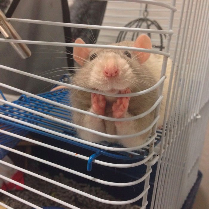 ratas-domesticas-2