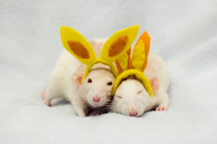 ratas-domesticas-21
