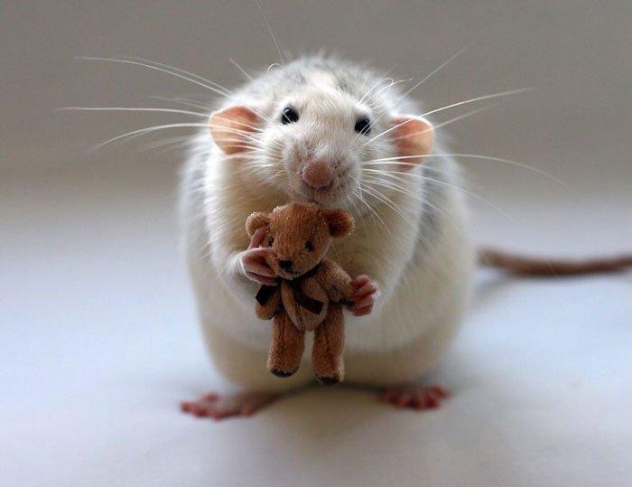 ratas-domesticas-3
