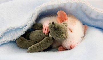 20 Adorables ratas demostrando que ellas también pueden ser unas lindas mascotas.