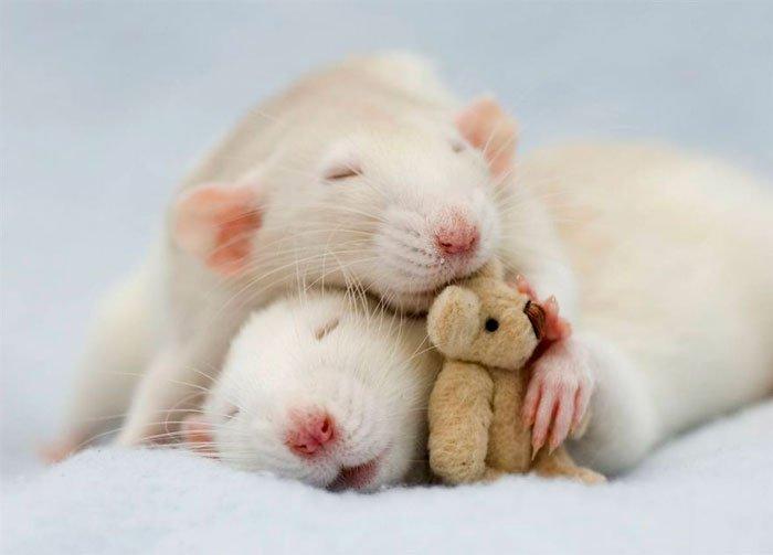 ratas-domesticas-4
