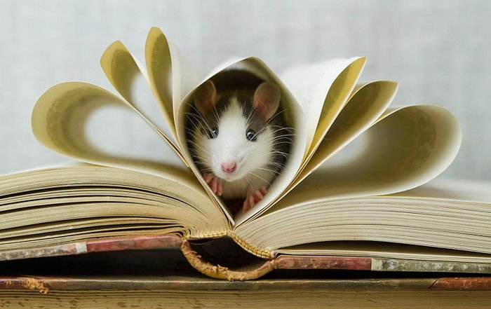 ratas-domesticas-5