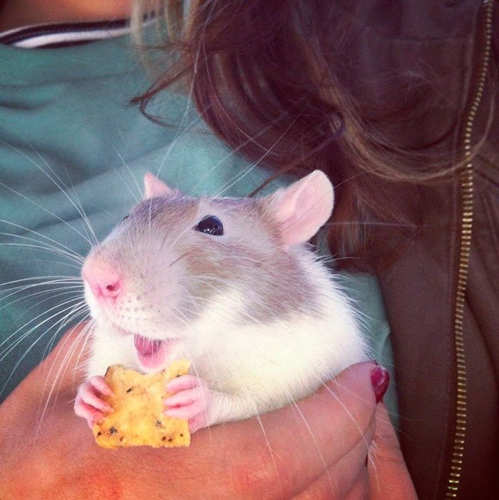 ratas-domesticas-6