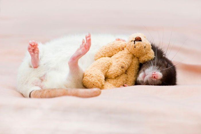 ratas-domesticas-7