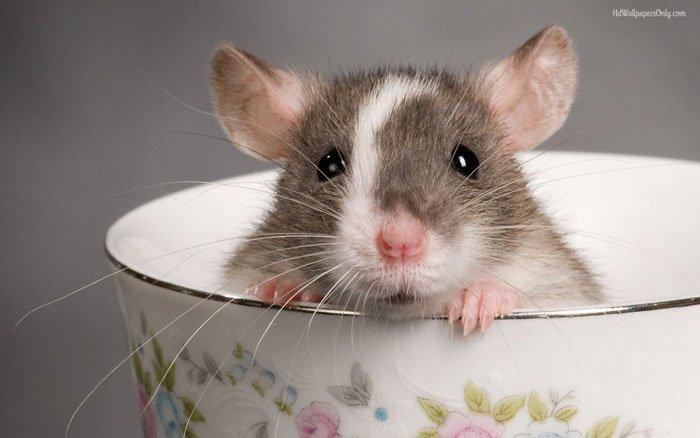 ratas-domesticas-8