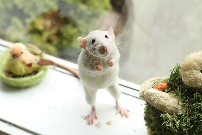 ratas-domesticas-9