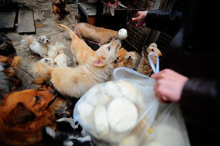 100-perros-salvados-festival-carne-perro-yulin-12