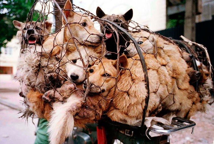 100-perros-salvados-festival-carne-perro-yulin-2