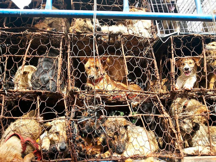 100-perros-salvados-festival-carne-perro-yulin-22