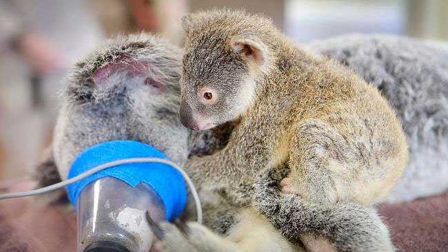 bebe-koala-abraza-madre-operacion-1