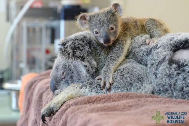 bebe-koala-abraza-madre-operacion-2
