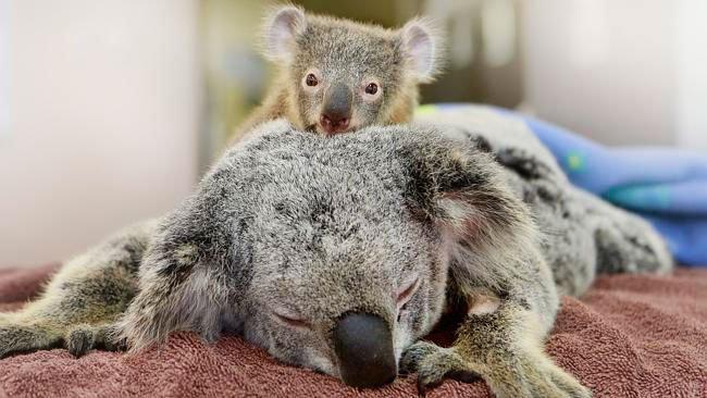 bebe-koala-abraza-madre-operacion-3