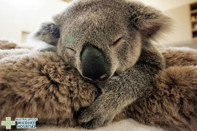 bebe-koala-abraza-madre-operacion-4