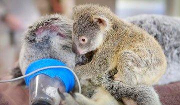 Bebé koala abraza a su madre inconsciente mientras es operada. Un momento adorable.