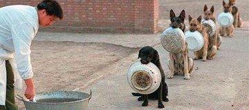 Perros policía en China esperan la comida de forma más ordenada que mucha gente.