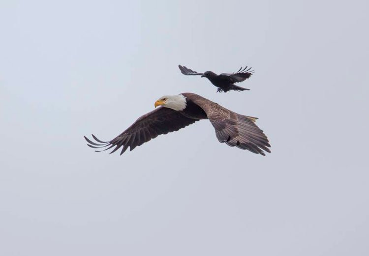 cuervo-monta-aguila-1