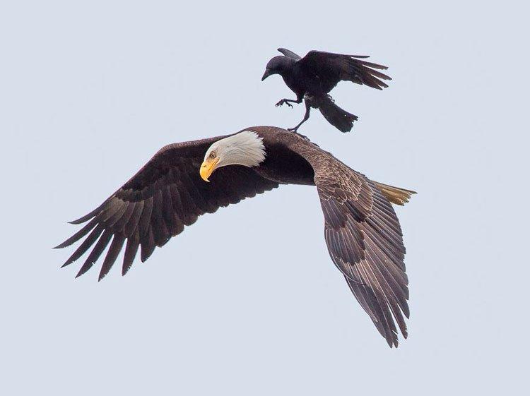 cuervo-monta-aguila-2