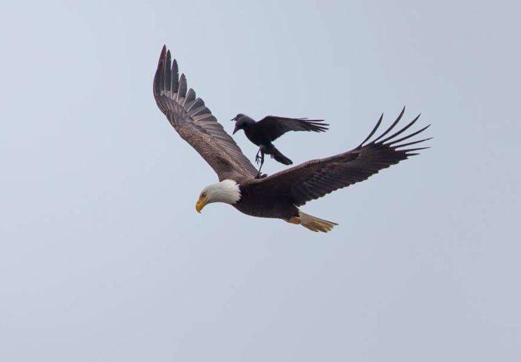 cuervo-monta-aguila-3