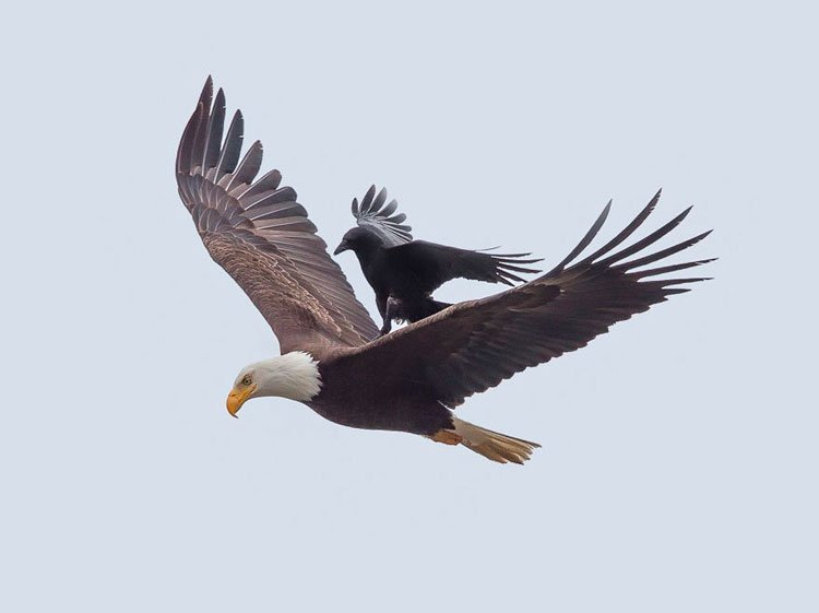 cuervo-monta-aguila-4
