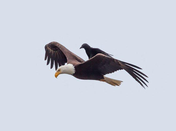 cuervo-monta-aguila-5