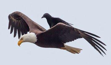 Increíbles imágenes de un cuervo montando sobre un águila en pleno vuelo.