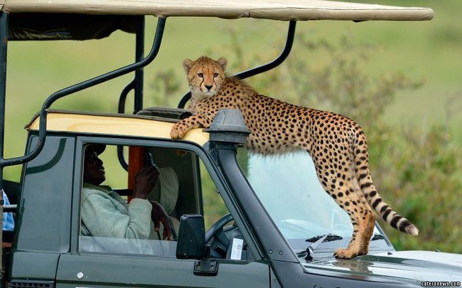 guepardo-safari-africano-1