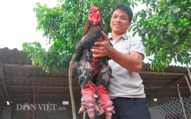 pollo-mutante-dong-tao-1