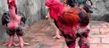 Esta raza de pollo tiene la mutación más extraña que verás jamás.