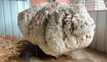 Así se ve una oveja perdida en el monte, que no ha sido trasquilada durante 5 años.