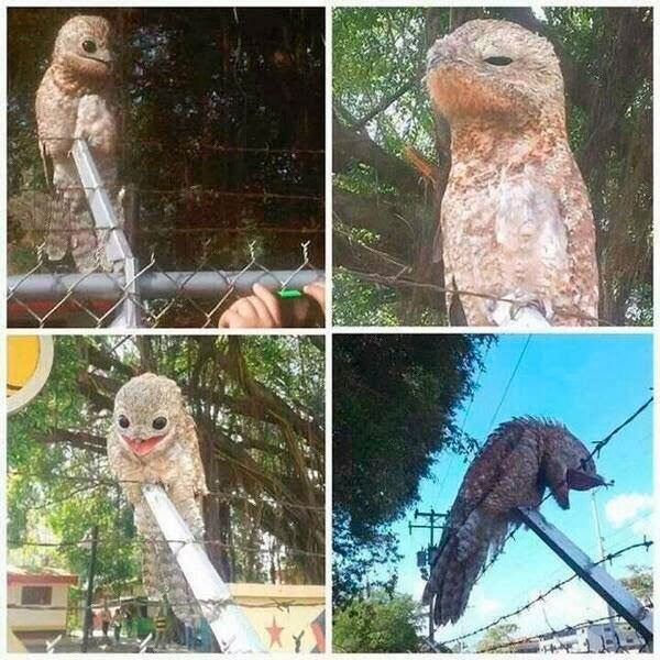 pajaro-great-potoo-1