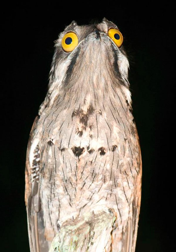 pajaro-great-potoo-2