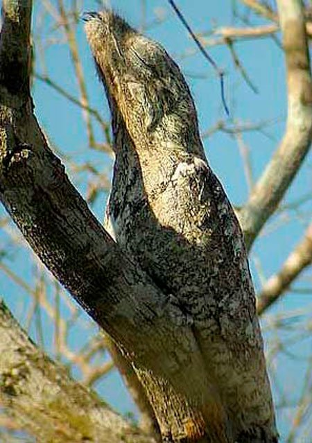 pajaro-great-potoo-3