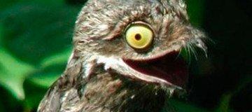 Por extraño que pueda parecer, este pájaro es real. Te presentamos al Great Potoo.