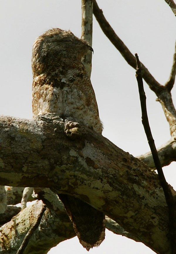 pajaro-great-potoo-4