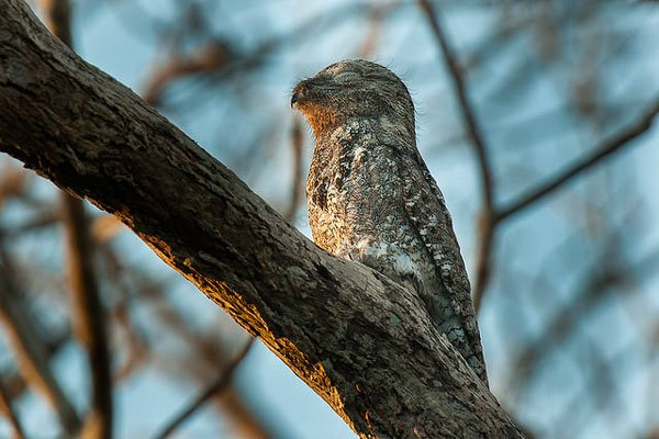 pajaro-great-potoo-5