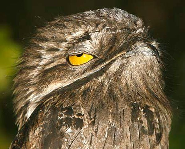 pajaro-great-potoo-6