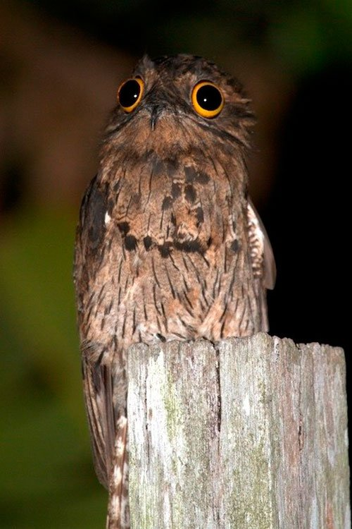 pajaro-great-potoo-7