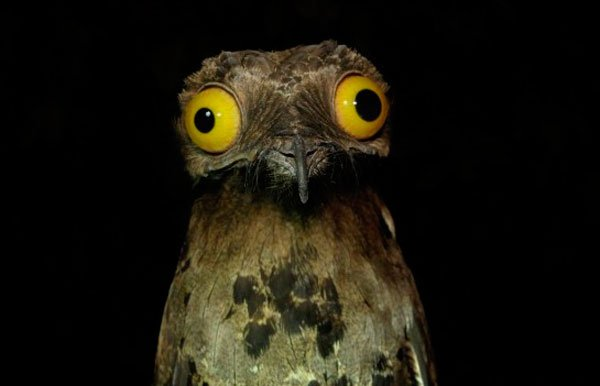 pajaro-great-potoo-8