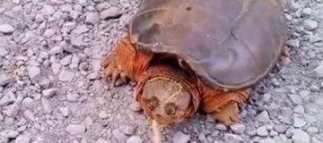Trató de hurgar a un tortuga mordedora con un palo, y la tortuga le atacó.