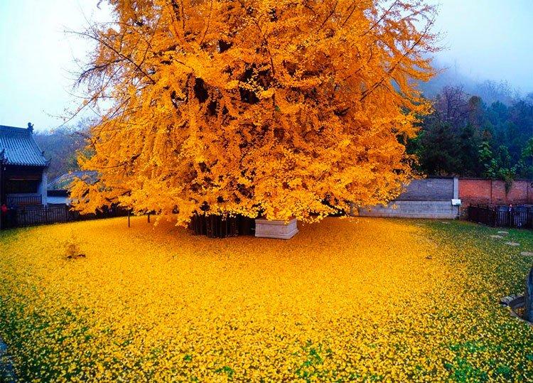 arbol-ginkgo-hojas-caidas-2