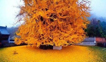 Este árbol tiene 1400 años, pero su caída de hojas lo hace más bello, que anciano.