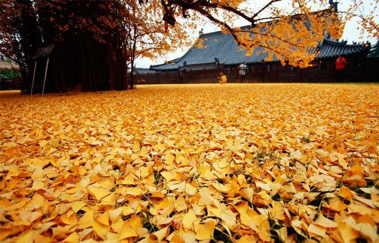 arbol-ginkgo-hojas-caidas-5