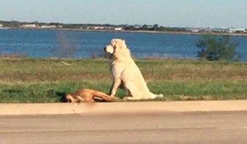 Perro se niega a abandonar a su amigo moribundo, mostrando la verdadera lealtad canina.