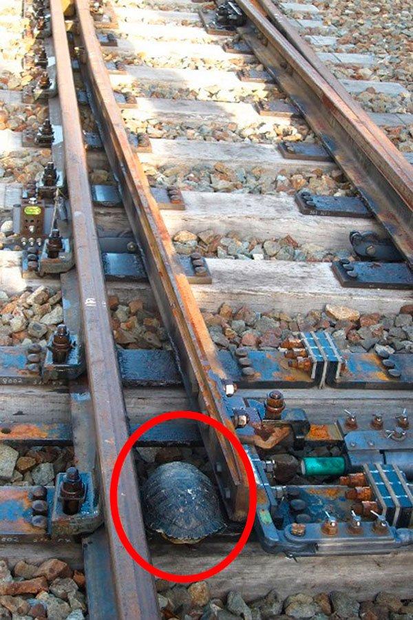 tuneles-para-tortugas-ferrocarriles-japon-1
